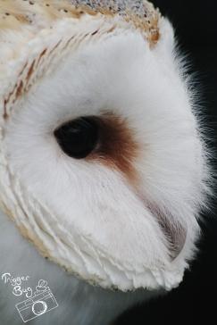 Jess, the pretty Barn Owl