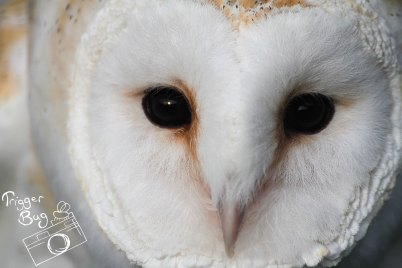 Cheeky Barn Owl