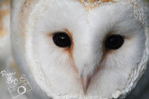 Cheeky Barn Owl